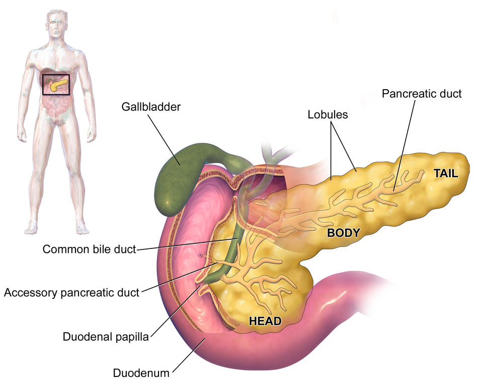 the pancreas | get well stay well at home, Human Body